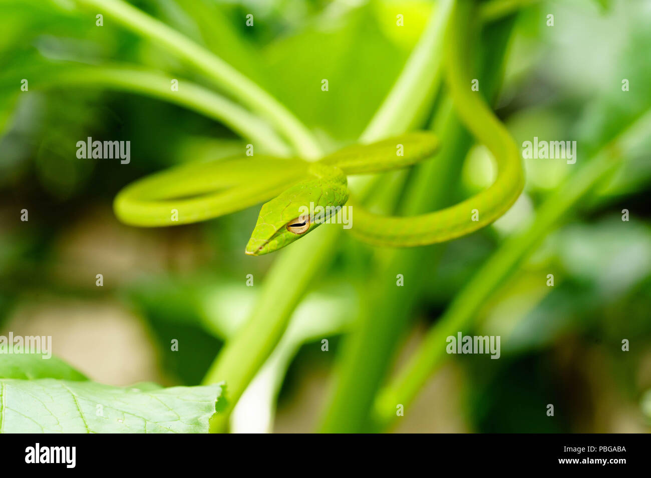 Oxybelis fulgidus also known as green vine snake camouflaging on bush - Stock Image