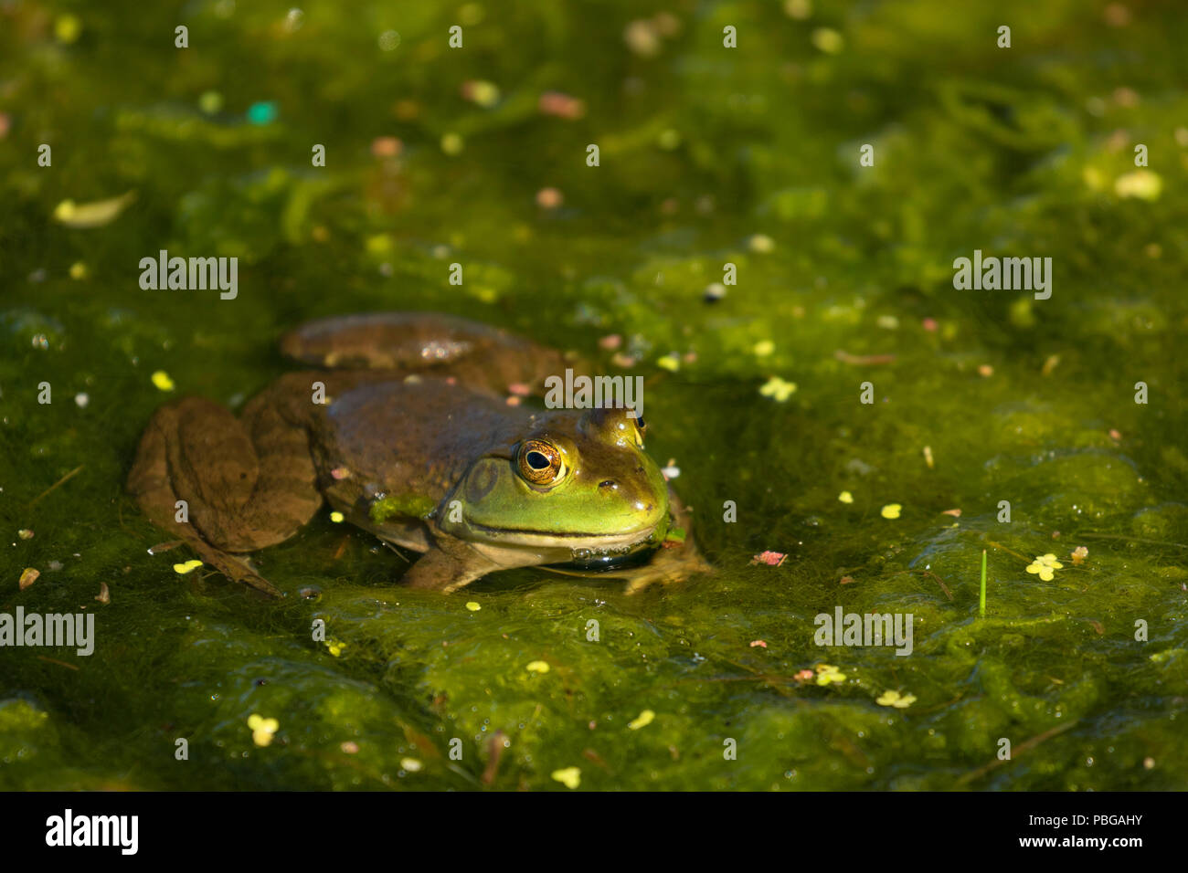Frog, Hagerman Wildlife Management Area, Idaho - Stock Image