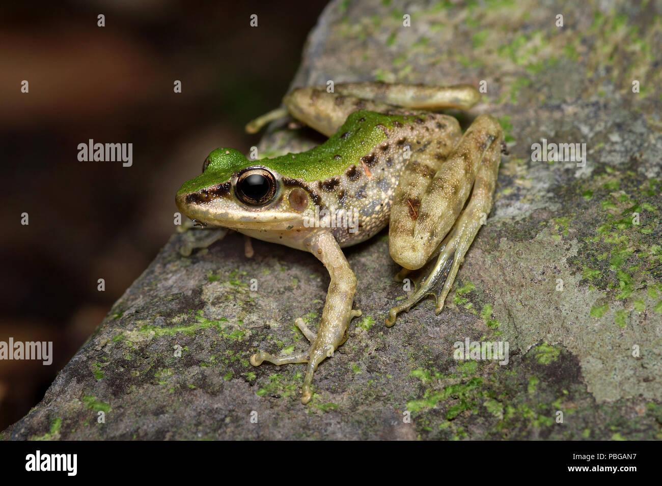 Swinhoe's Frog Odorrana swinhoana - Stock Image