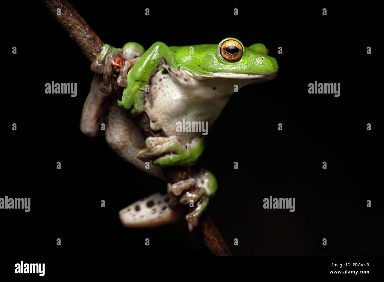 Moltrecht's Green Nantou Tree Frog Rhacophorus moltrechti - Stock Image