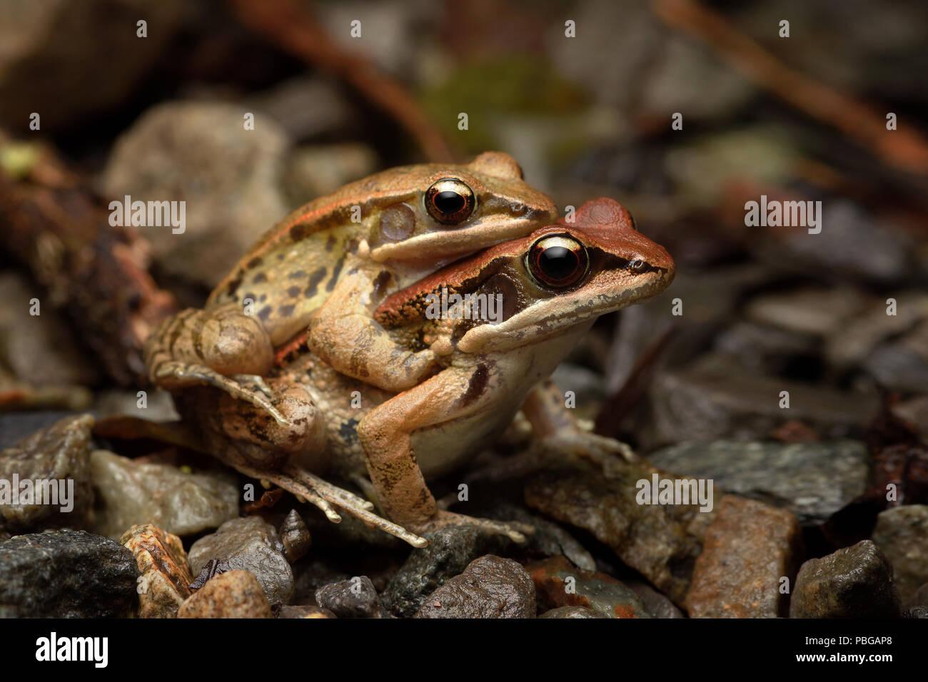 Hylarana latouchii brown wood frog - Stock Image
