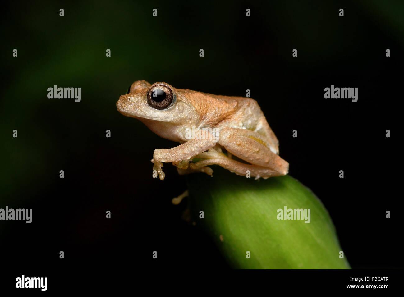 Temple Tree Frog Kurixalus idiootocus - Stock Image