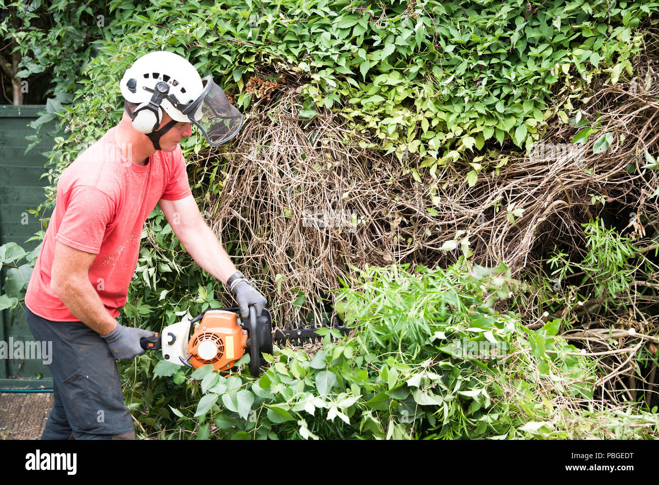 An garden worker using a power hedge trimmer to cut back a large overgrown bush. - Stock Image