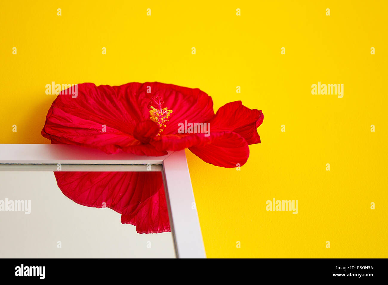 pink hibiscus on yellow background - Stock Image
