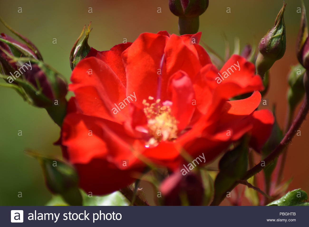 Roses Of Primary Colors Stock Photo 213650875 Alamy