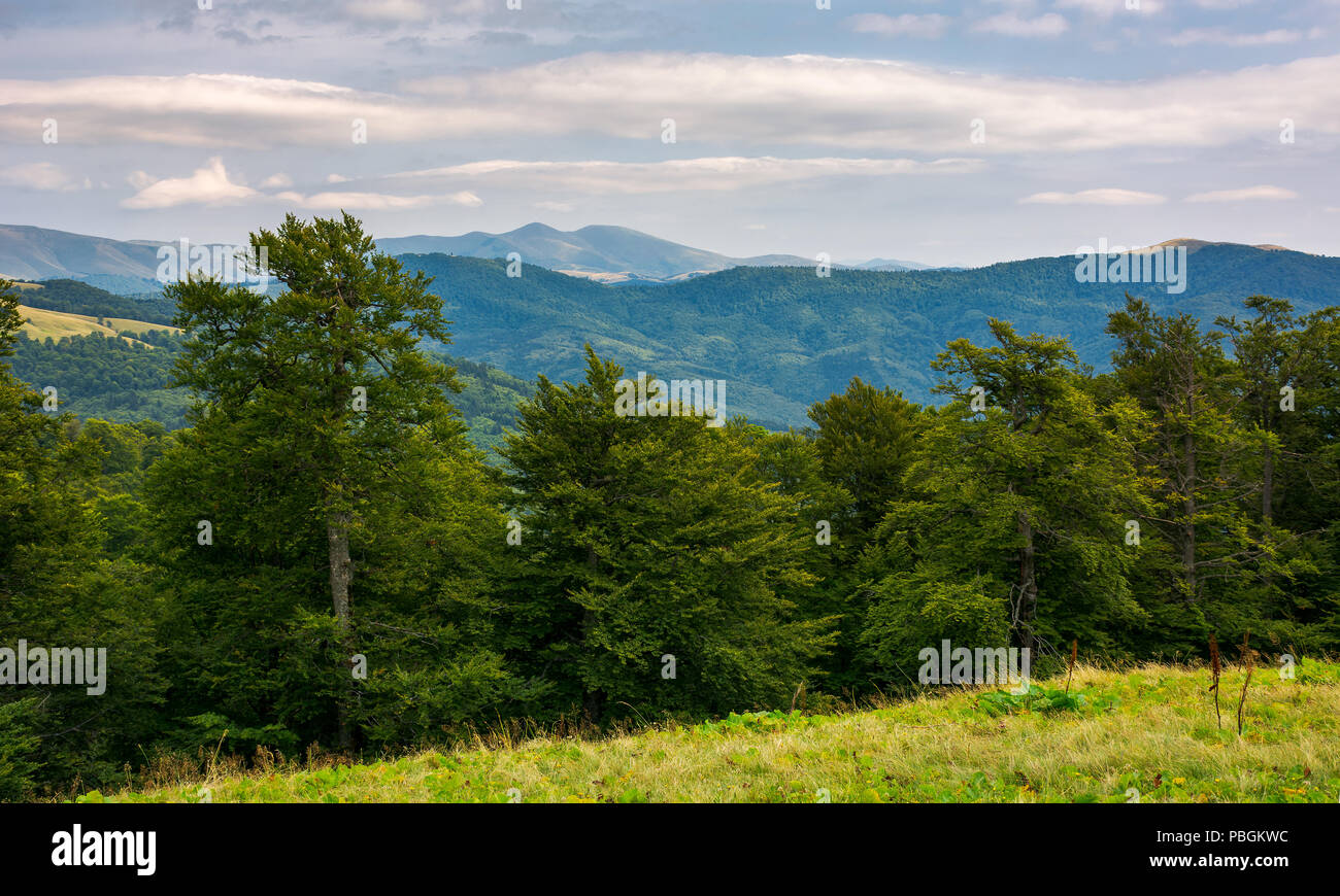 primeval beech forest of Carpathian mountains. Svydovets ridge in the distance. beautiful nature scenery. - Stock Image