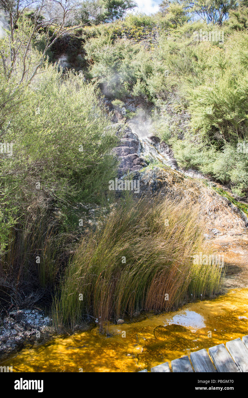 Detail of native plants and thermal microbial mats at the geothermal area Orakei Korako in Rotorua, New Zealand - Stock Image