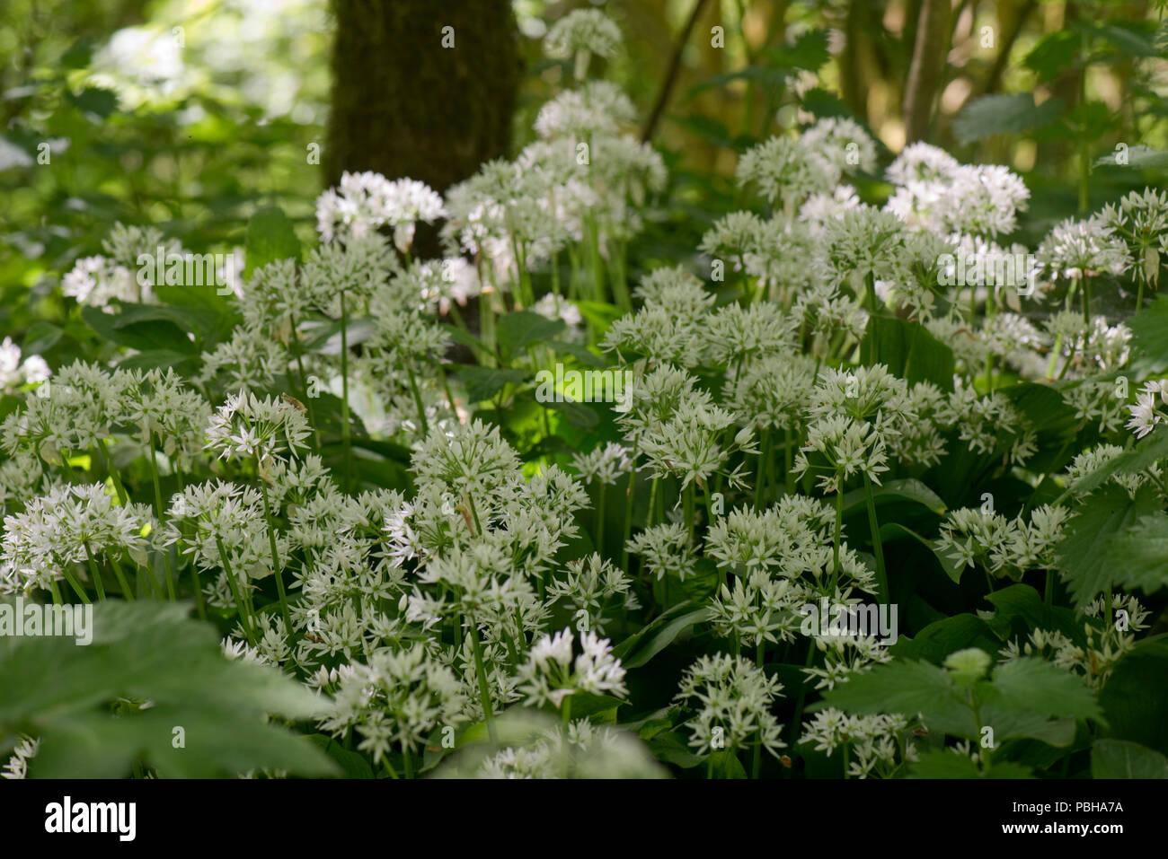 Wild garlic or ramsons, Allium ursinum, white flowers in dappled woodland shade in spring, Berkshire, May - Stock Image