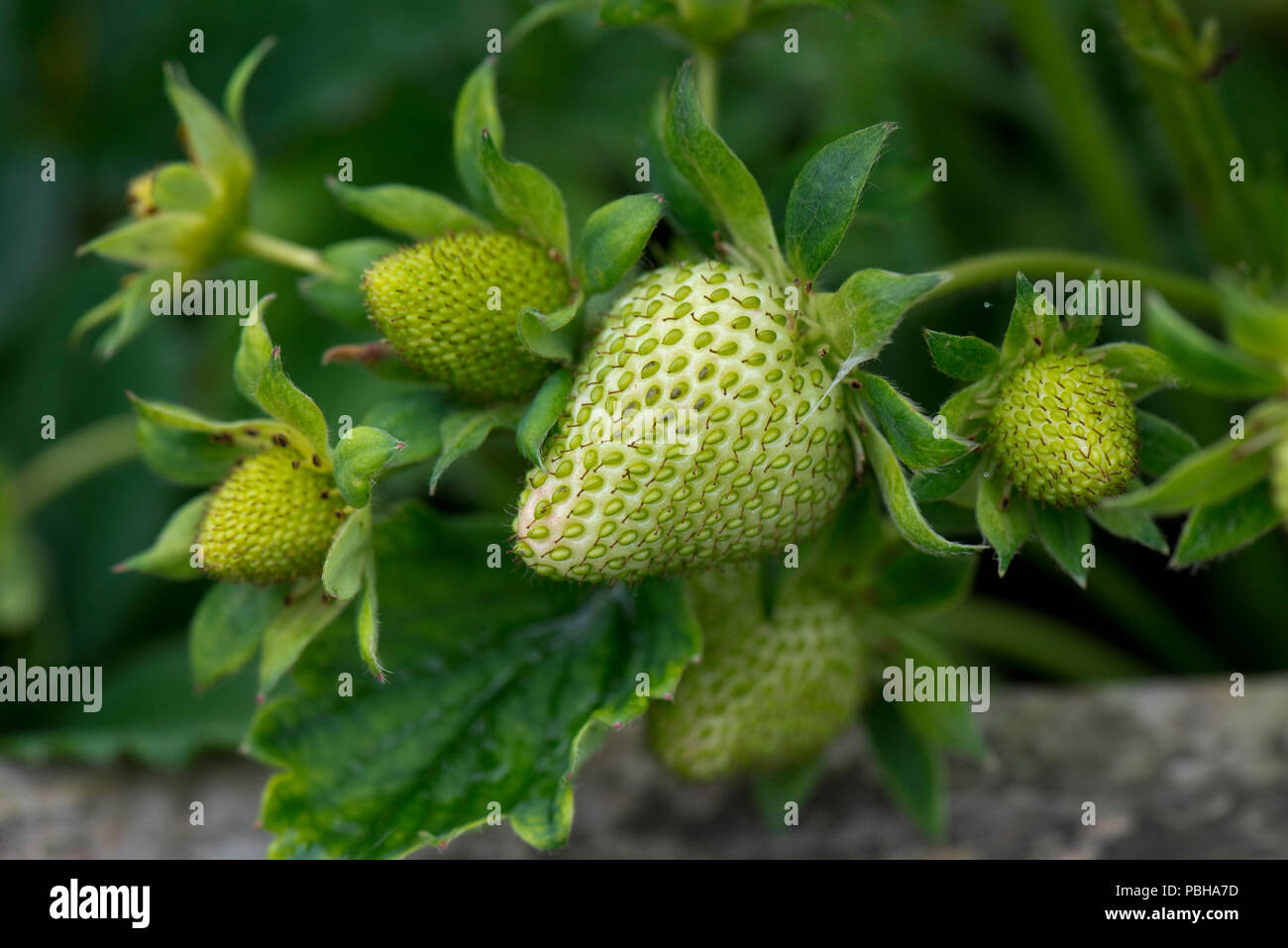 Green, unripe strawberry fruits, Fragaria x ananassa, aggregate accessory fruit with external achenes, Berkshire, May - Stock Image