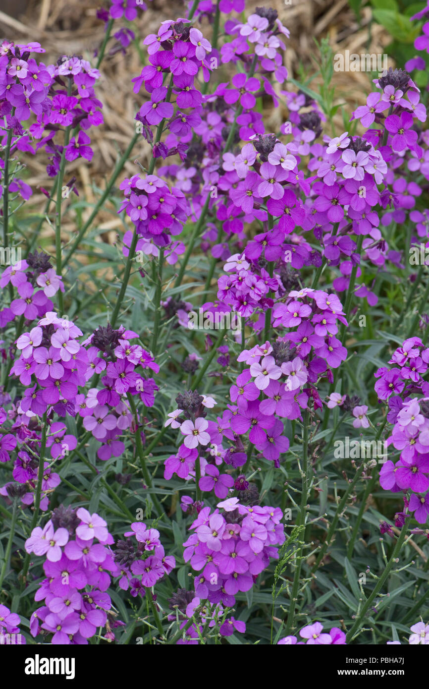 Erysimum 'Bowles's Mauve', perennial wallflower in full purple flower, Berkshire May - Stock Image