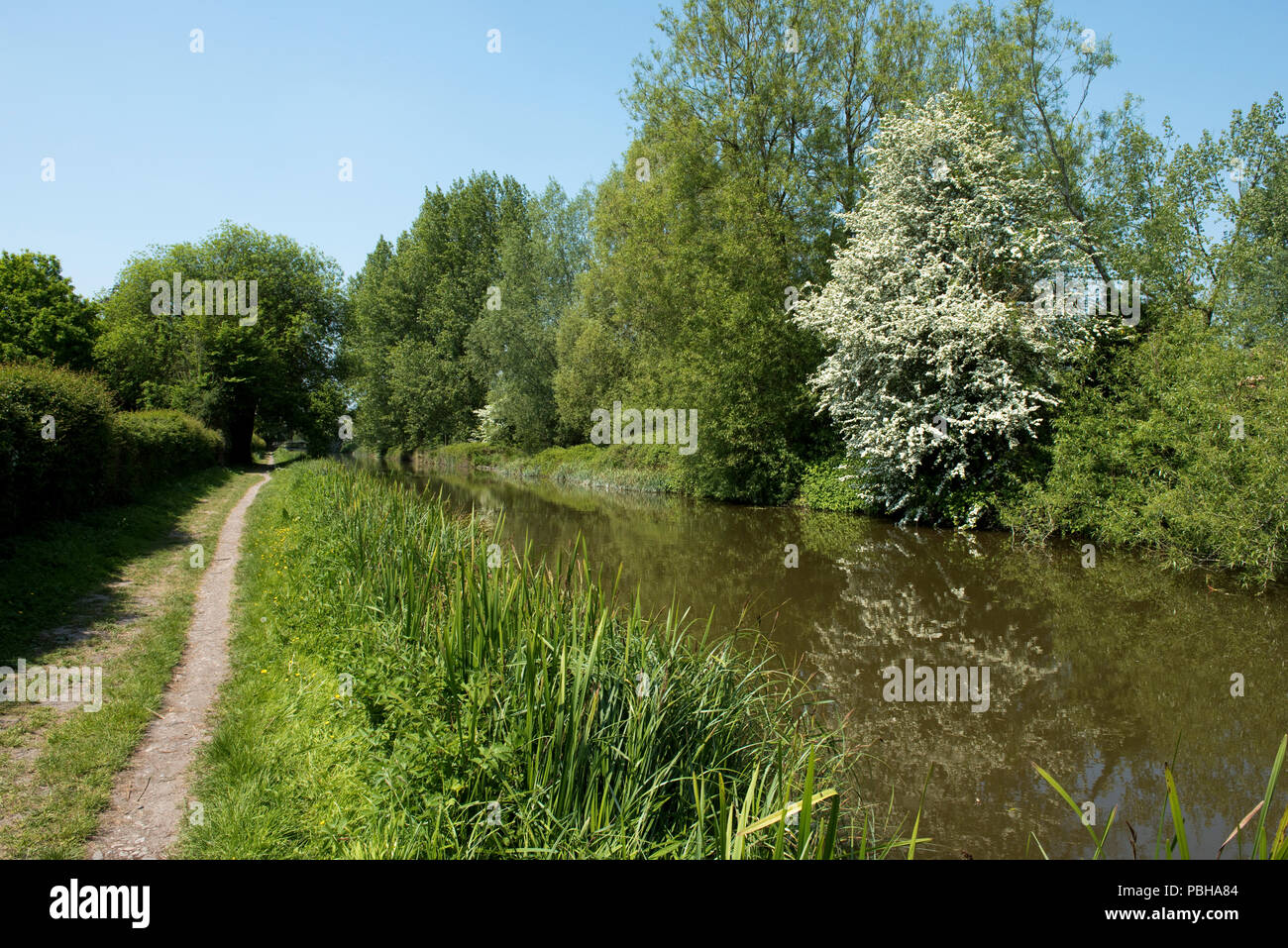 The Kennet & Avon Canal and towpath with flowering may blossom through Hungerford Coimmon, Berkshire May - Stock Image