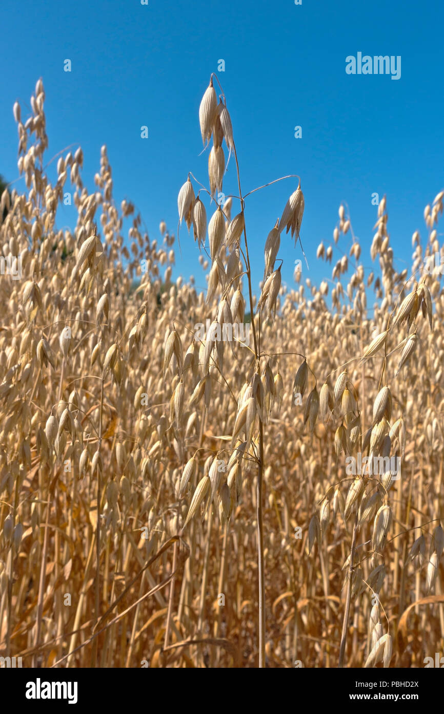 Oat field with reduced grain yield due to extreme drought summer 2018. Kernel size reduced. Record breaking summer heat and drought.Stock Photo