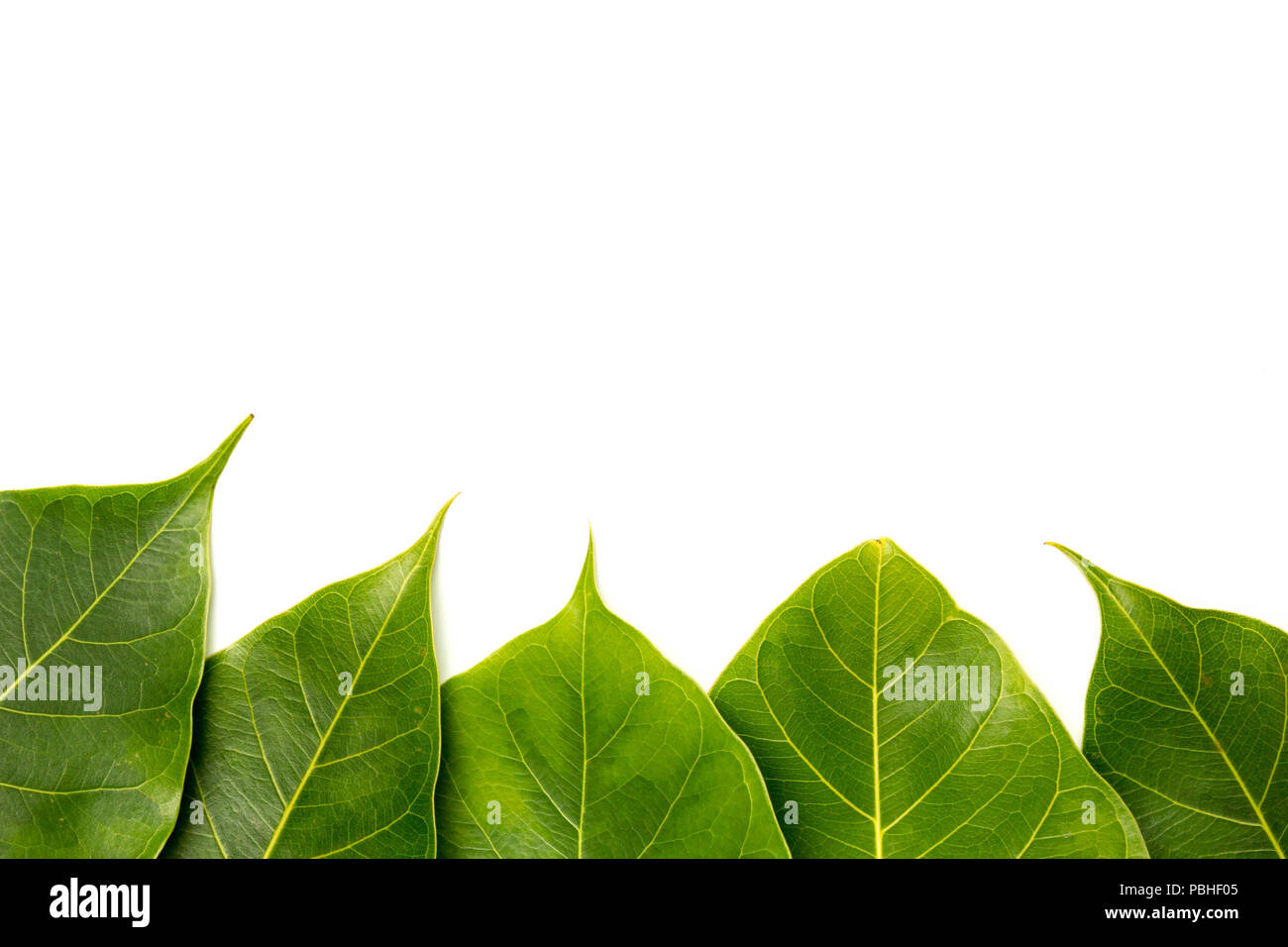 Bodhi leaves on a over white background. Stock Photo