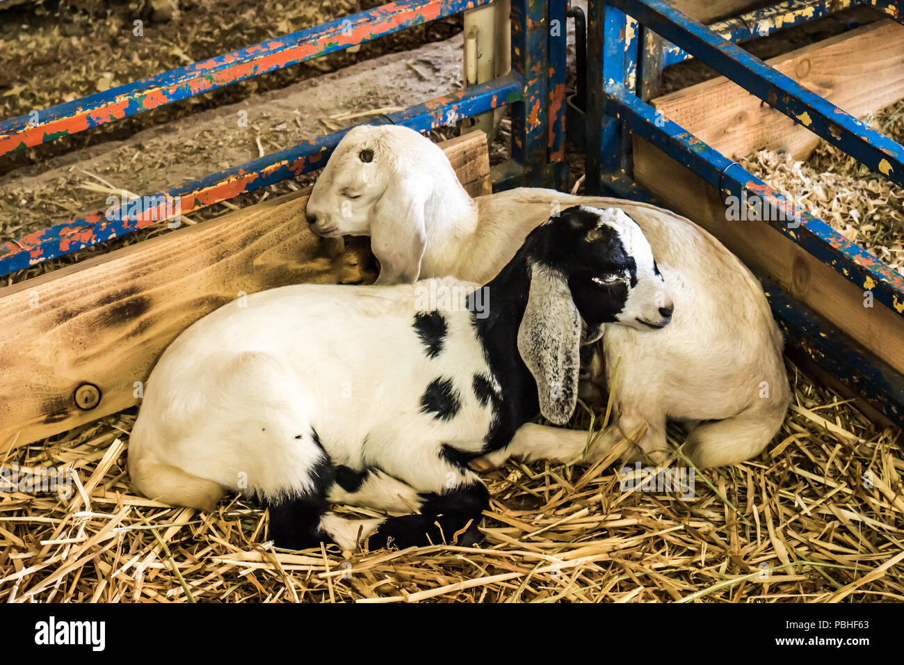 Two Young Lambs Asleep In Corner Of Pen - Stock Image