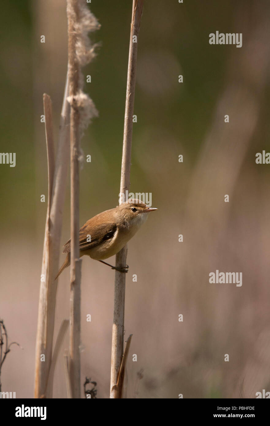 Reed Warbler Acrocephalus Scirpaceus Single Adult Perched On Reed Stem Essex Uk Stock Photo Alamy