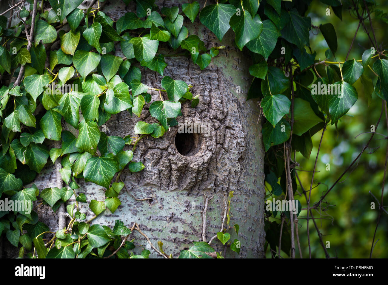 Woodpecker cavity on a trunck, leaves in the background - Stock Image