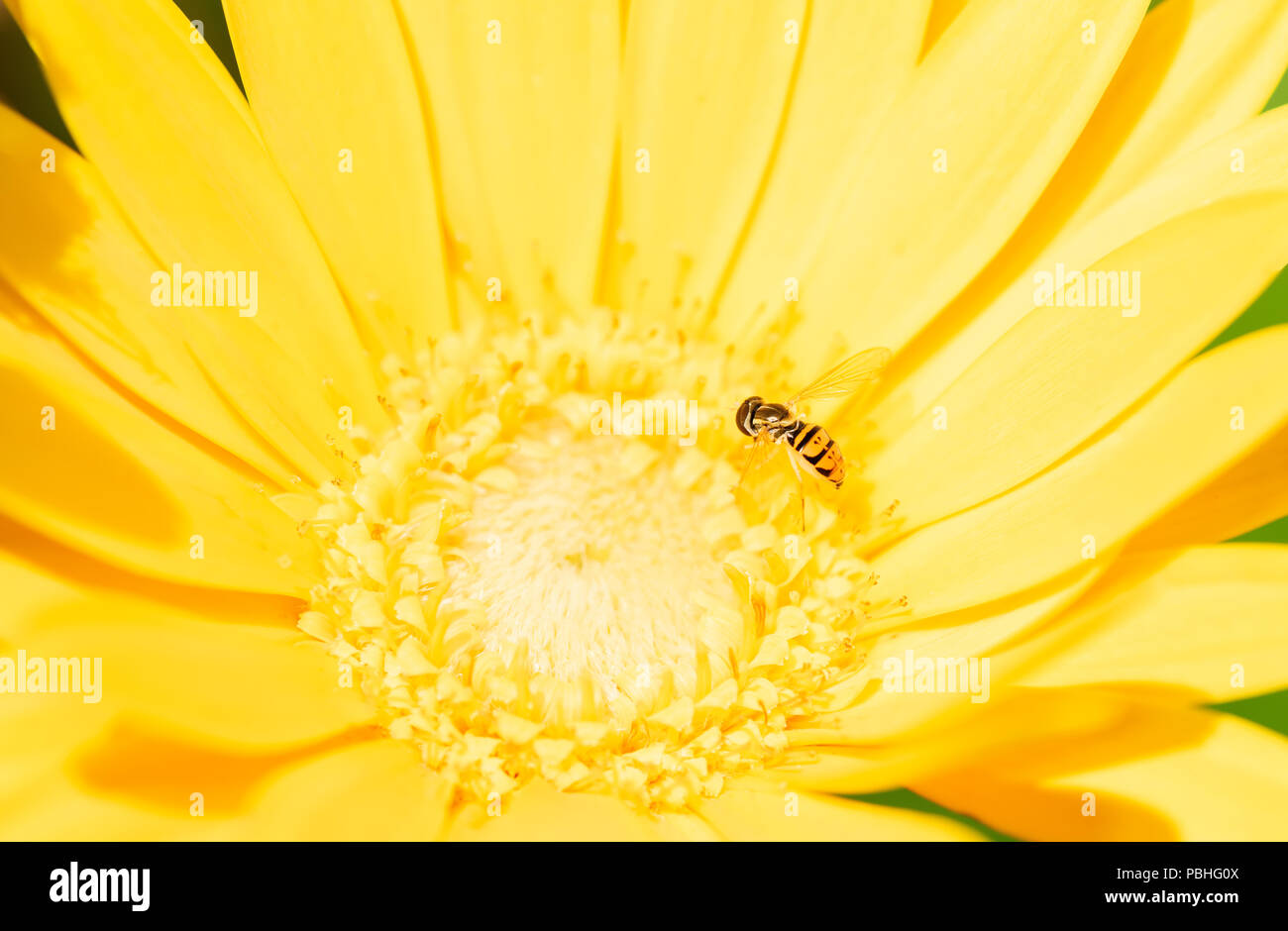 Macro of a Hoverfly (Toxomerus Marginatus) Collecting Pollen on a Bright Yellow Flower Stock Photo