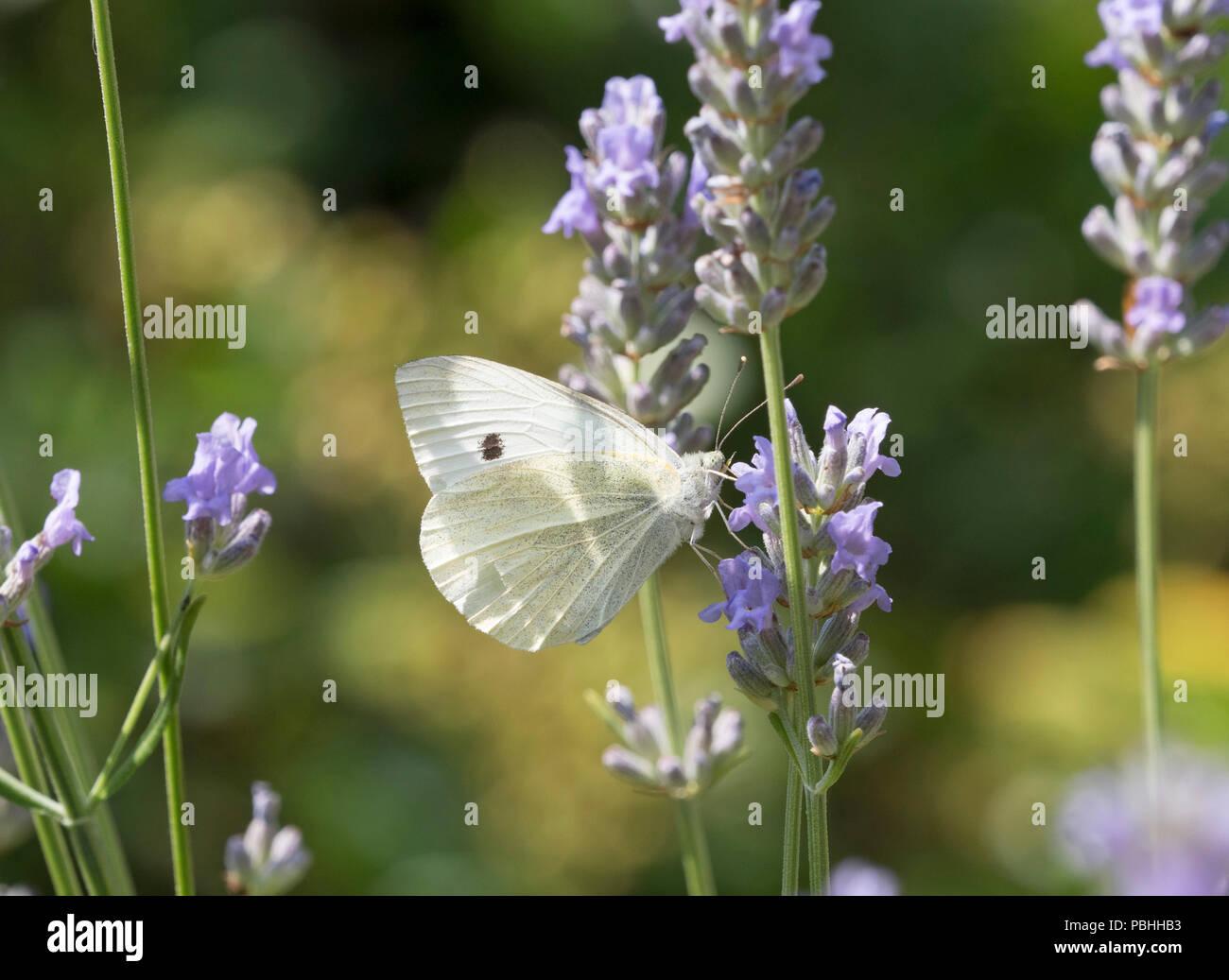 Large White Butterfly, Pieris brassicae, single adult feeding on Lavender Worcestershire, UK - Stock Image