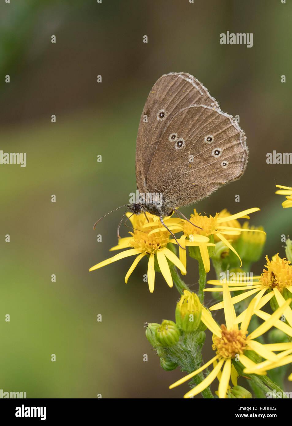 Ringlet Butterfly, Aphantopus hyperantus, single adult feeding yellow flowers of Ragwort, Senecio jacobaea, Worcestershire, UK. - Stock Image