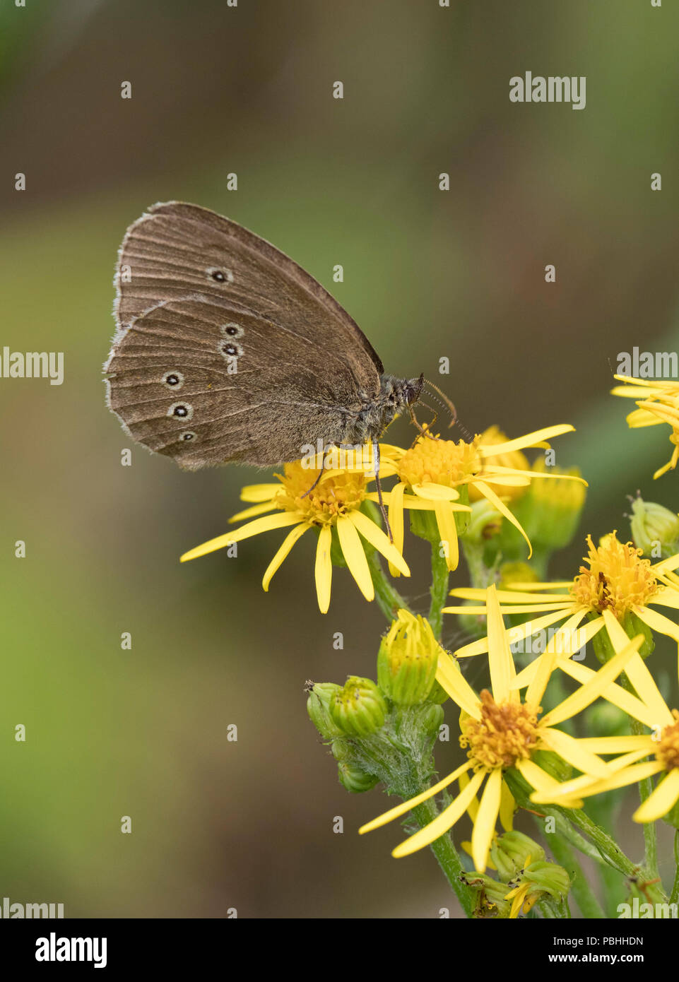 Ringlet Butterfly, Aphantopus hyperantus, single adult feeding on yellow flowers of Ragwort, Senecio jacobaea, Worcestershire, UK. - Stock Image