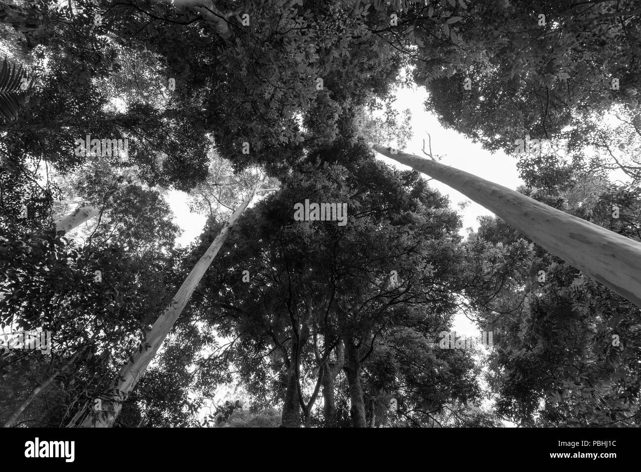 Rainforest canopy above converging lines of eucalyptus tree trunks in black and white - Stock Image