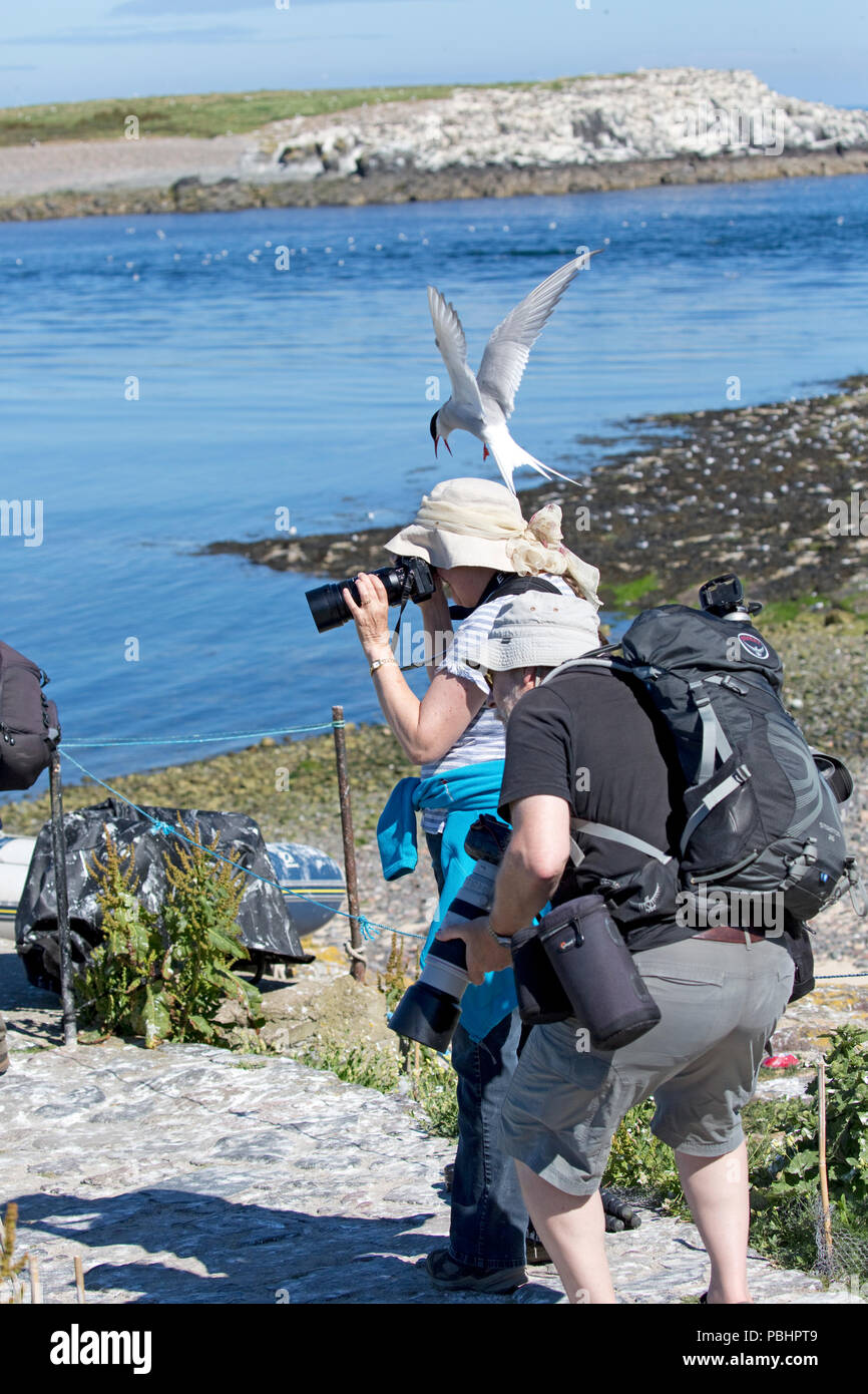 Arctic tern Sterna paradisaea attacking attacks photographer defending chicks blue sky Inner Farne Farne Islands Northumberland UK - Stock Image