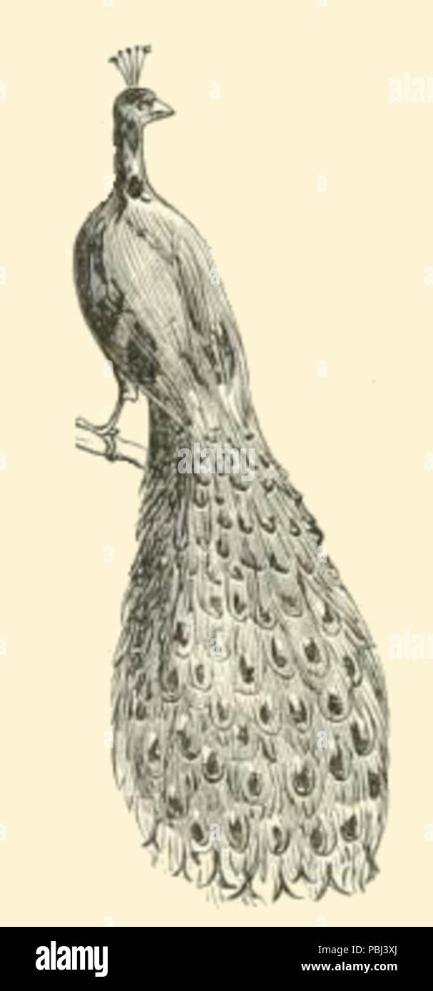 Peacock Drawing Stock Photos & Peacock Drawing Stock Images - Alamy