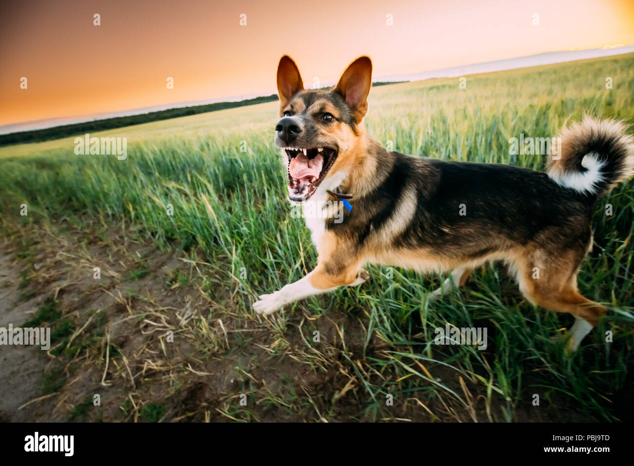 Barking Angry Mixed Breed Dog Running In Road  Through Field - Stock Image