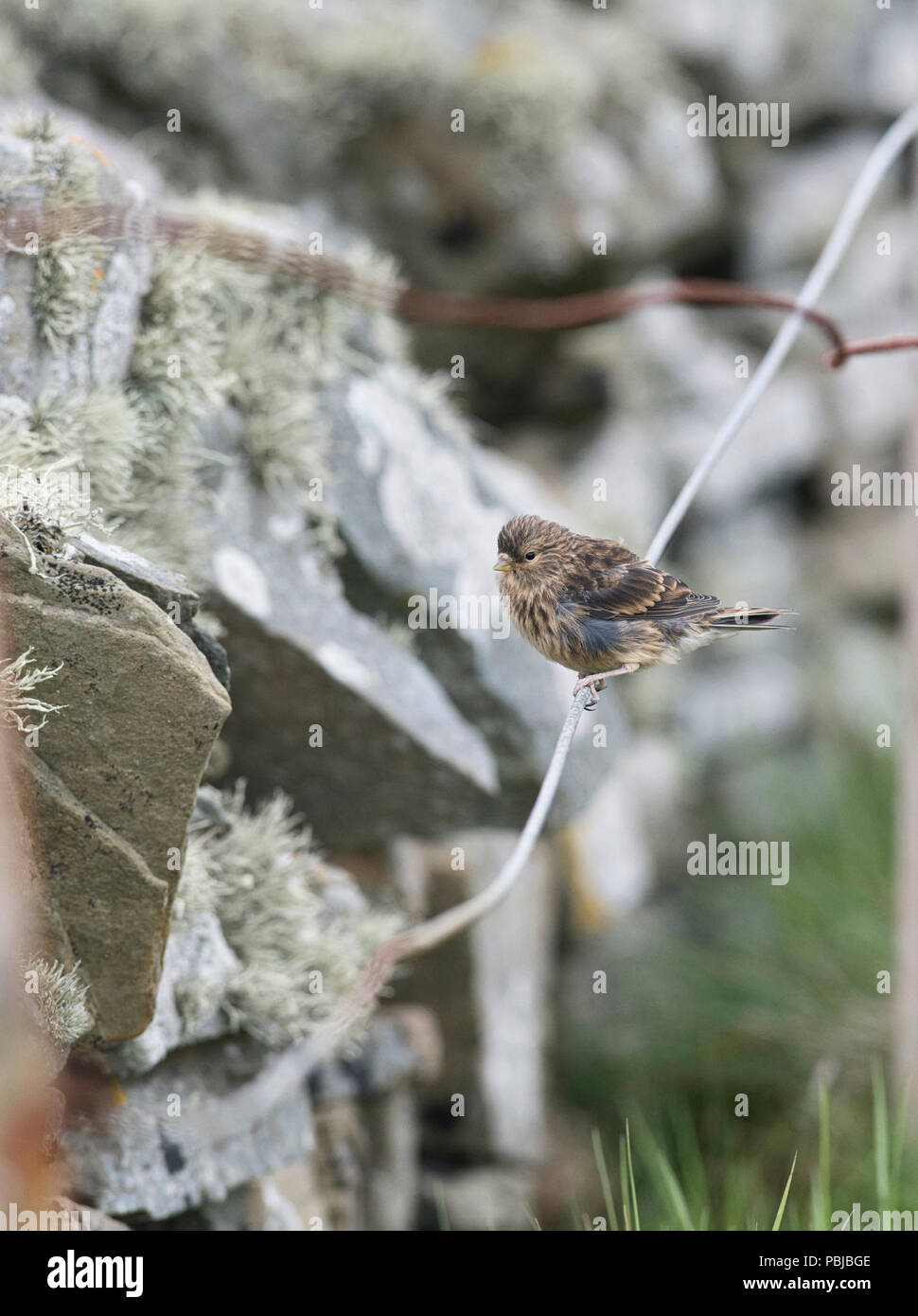 Twite (Carduelis flavirostris) on wire fence by stone wall, Sumburgh Head, Shetland. - Stock Image