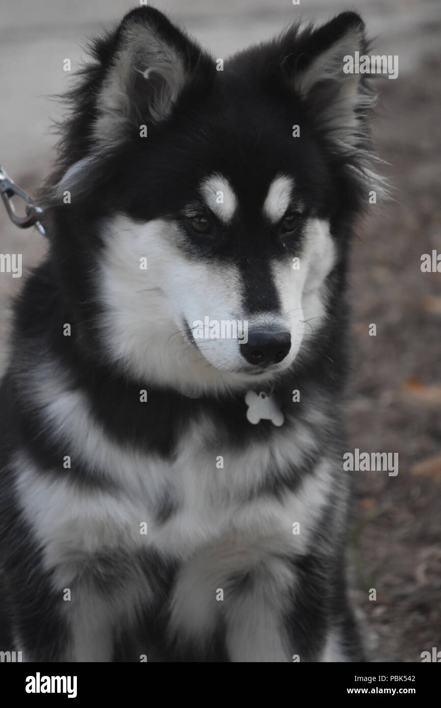 Cute Siberian Husky With Fluffy Black And White Fur Stock Photo