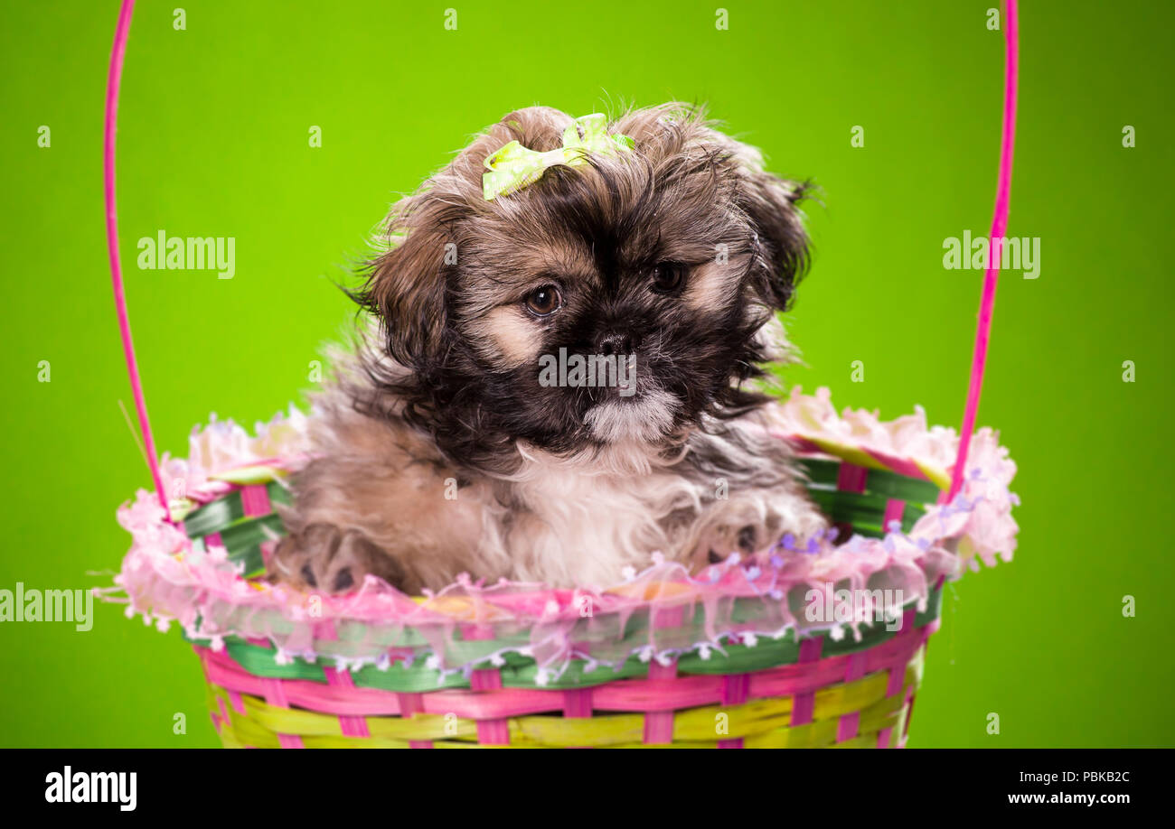 Brown And Black Shih Tzu Puppy In A Basket On Colored Background