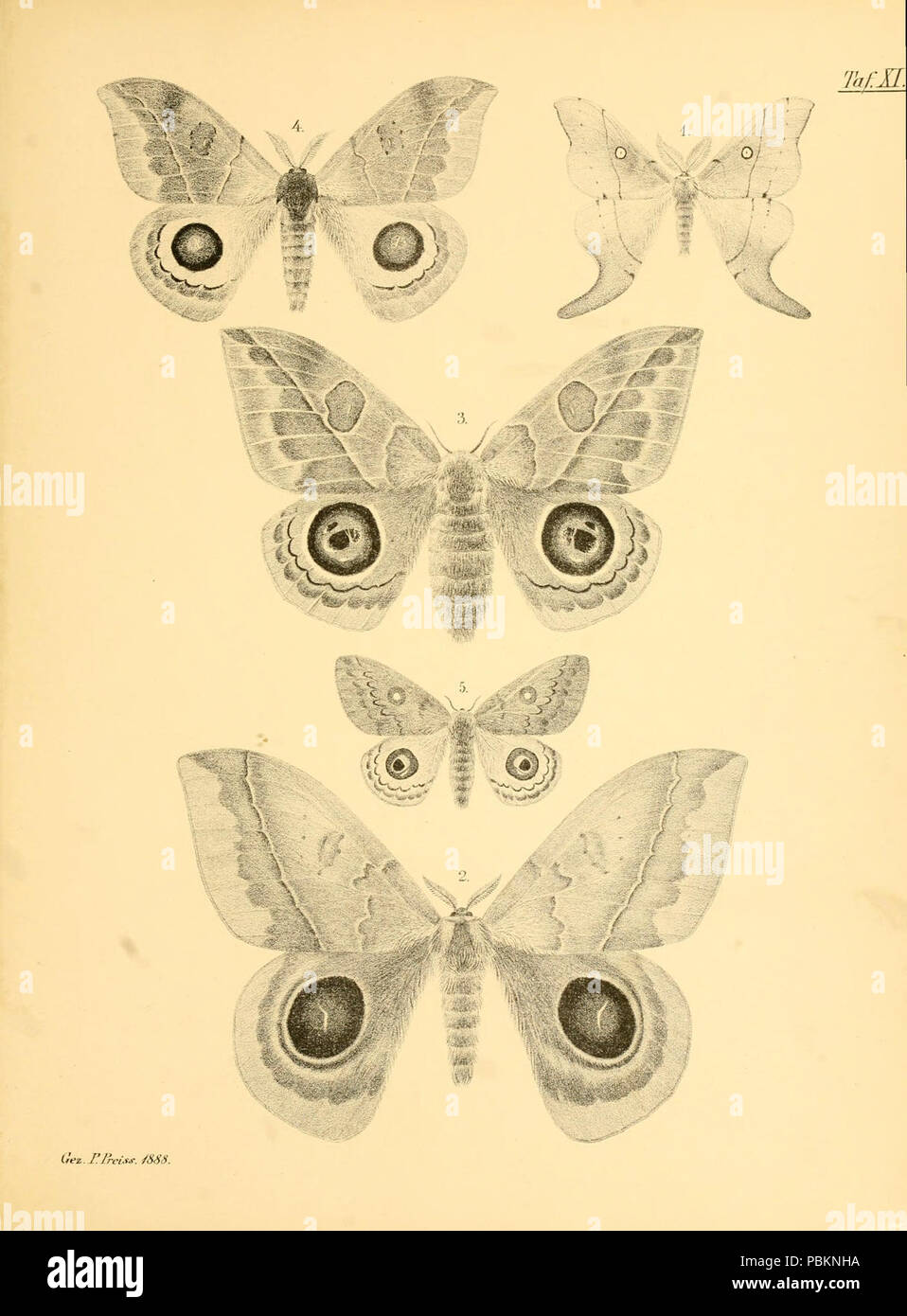 Abbildungen hervorragender Nachtschmetterlinge aus dem indo-australischen und südamerikanischen Faunengebiet (Taf. XI) - Stock Image