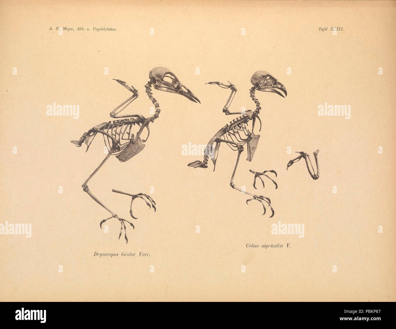 Abbildungen von Vogel-Skeletten (Tafel XCIII) - Stock Image