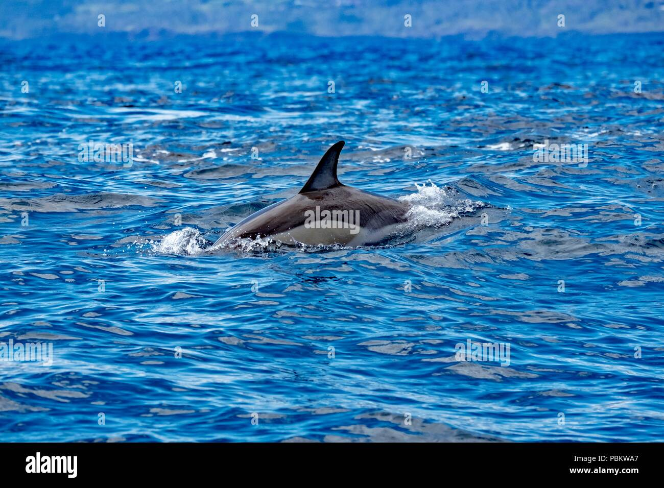 Common dolphin in iridescent blue ocean - Stock Image