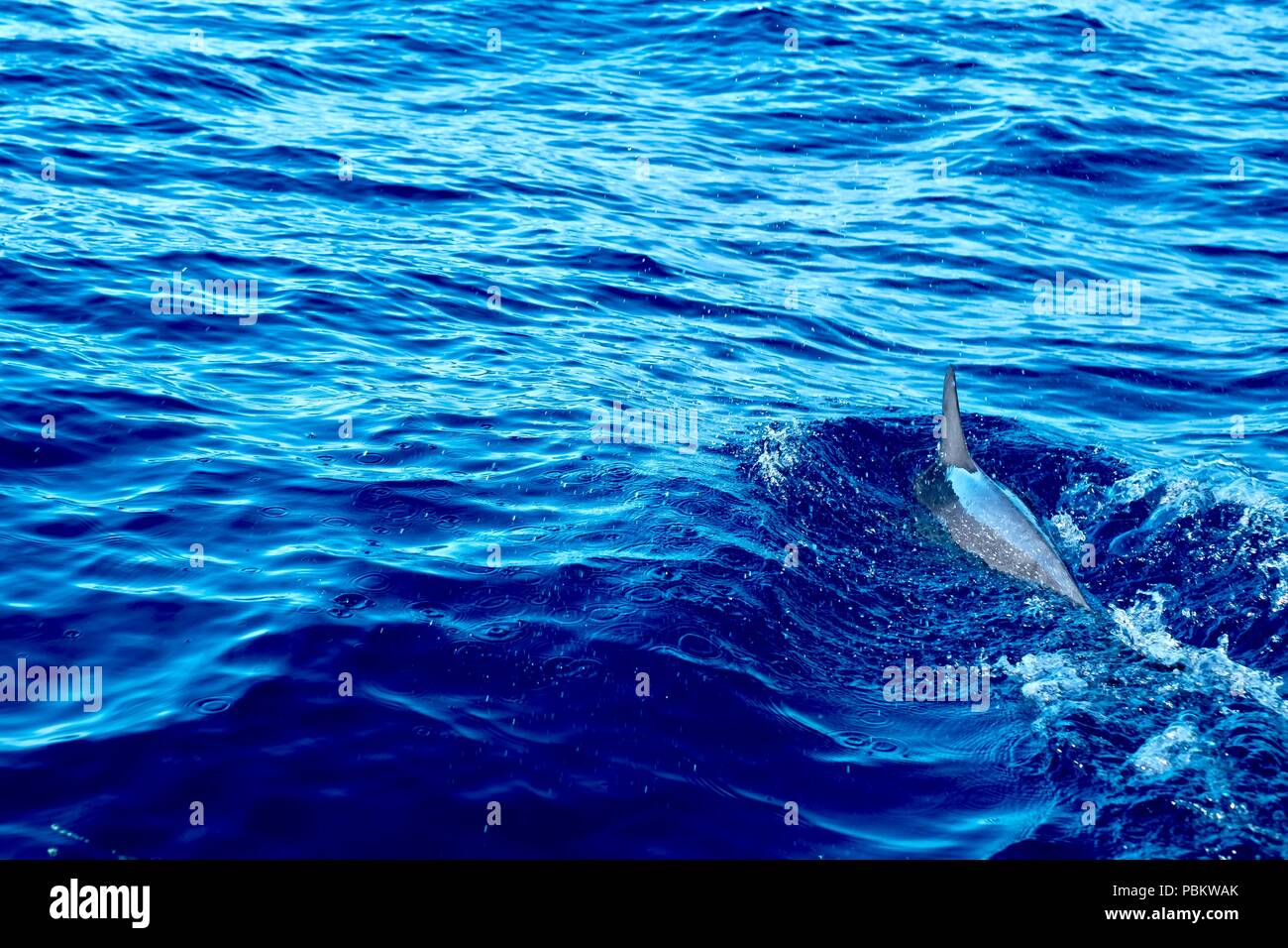 Spotted dolphin swimming in front of a boat - Stock Image