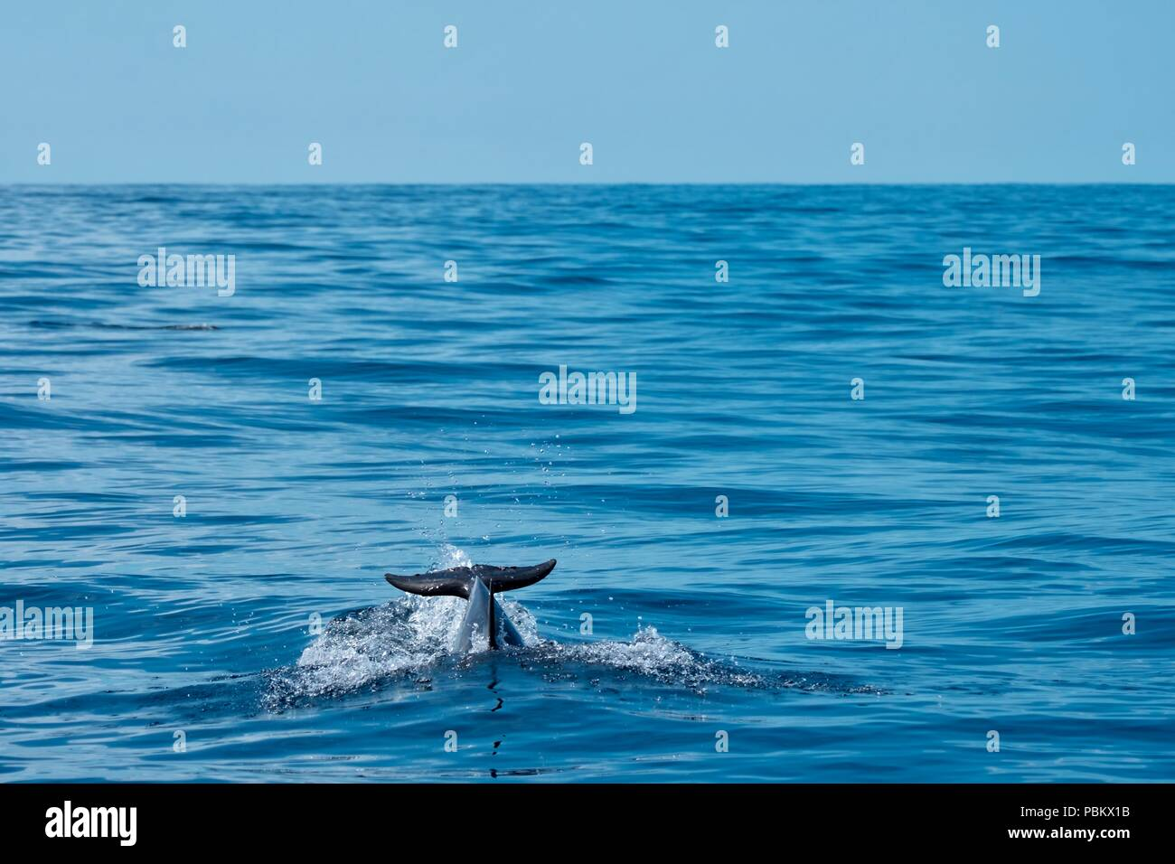 Common dolphin speeding through the ocean - Stock Image