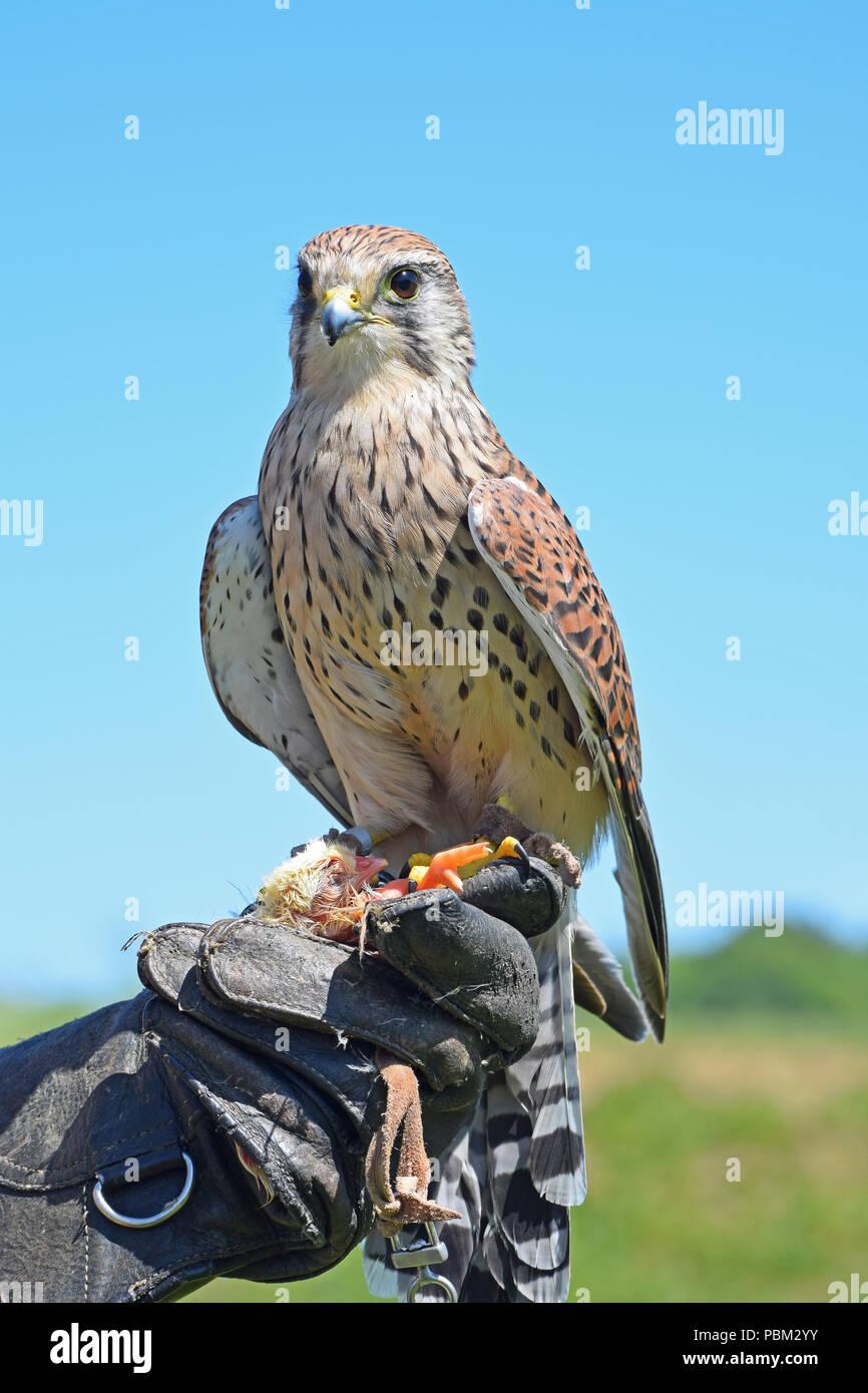 Kestrel, Falconry Display, Cupar, Fife, Scotland - Stock Image