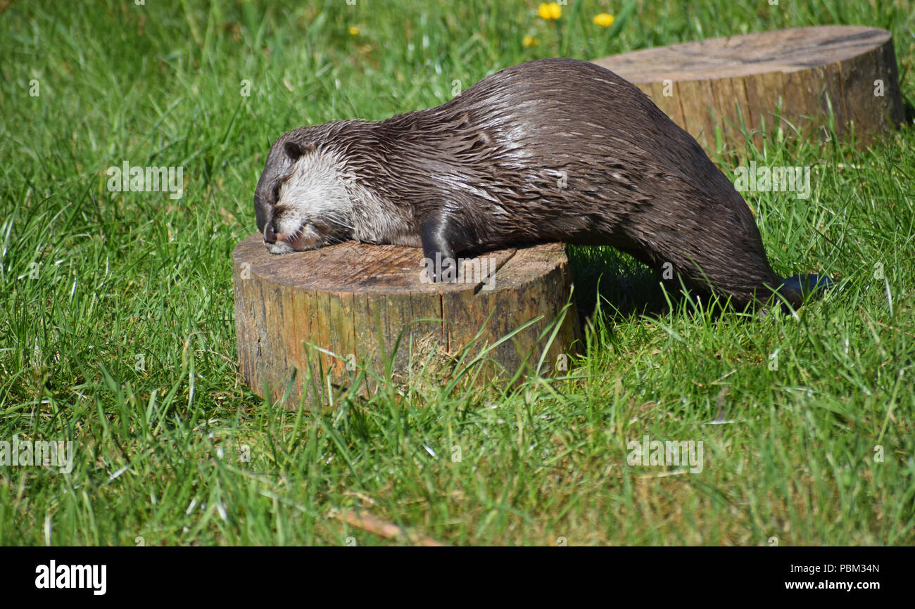 Asian Short Claw Otter, Cupar, Fife - Stock Image
