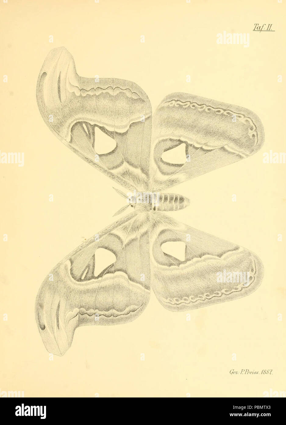 Abbildungen hervorragender Nachtschmetterlinge aus dem indo-australischen und südamerikanischen Faunengebiet (Taf. II) - Stock Image