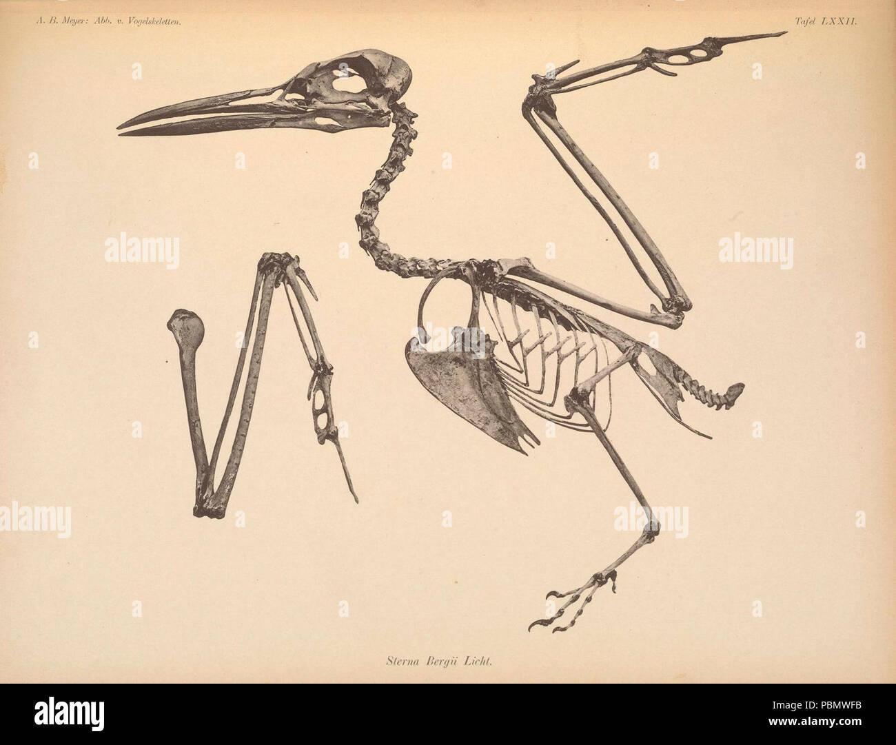 Abbildungen von Vogel-Skeletten (Tafel LXXII) - Stock Image
