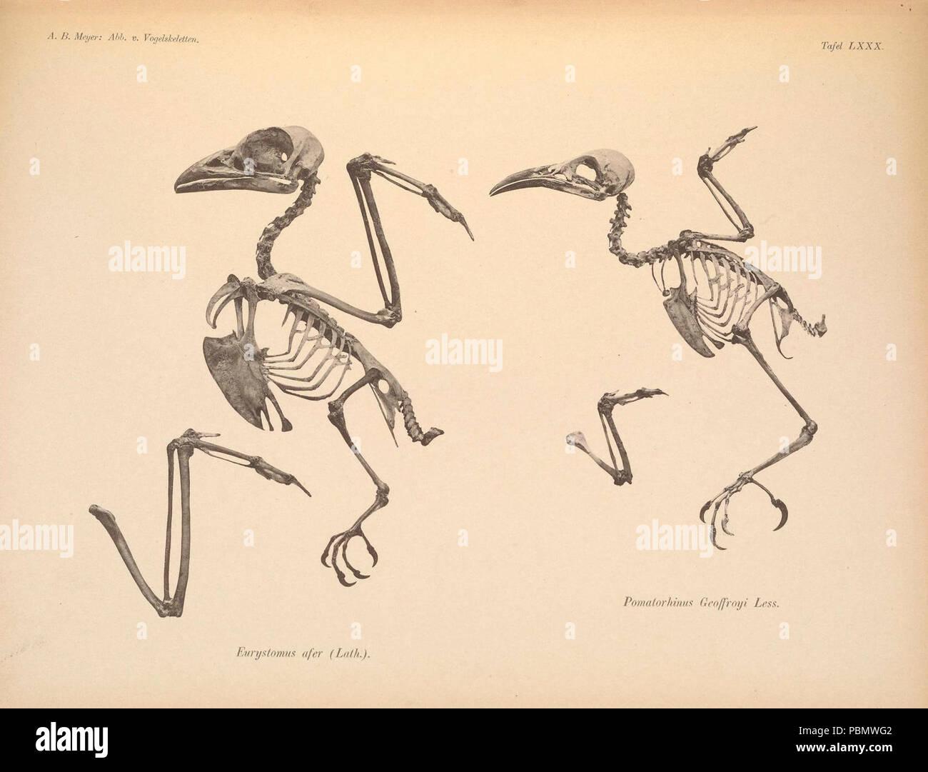 Abbildungen von Vogel-Skeletten (Tafel LXXX) - Stock Image