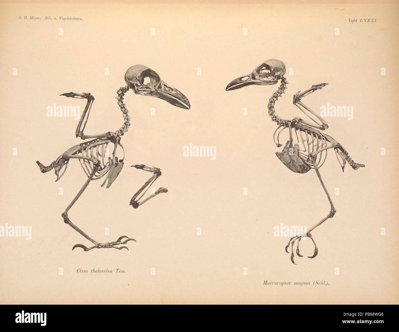 Abbildungen von Vogel-Skeletten (Tafel LXXXI) - Stock Image