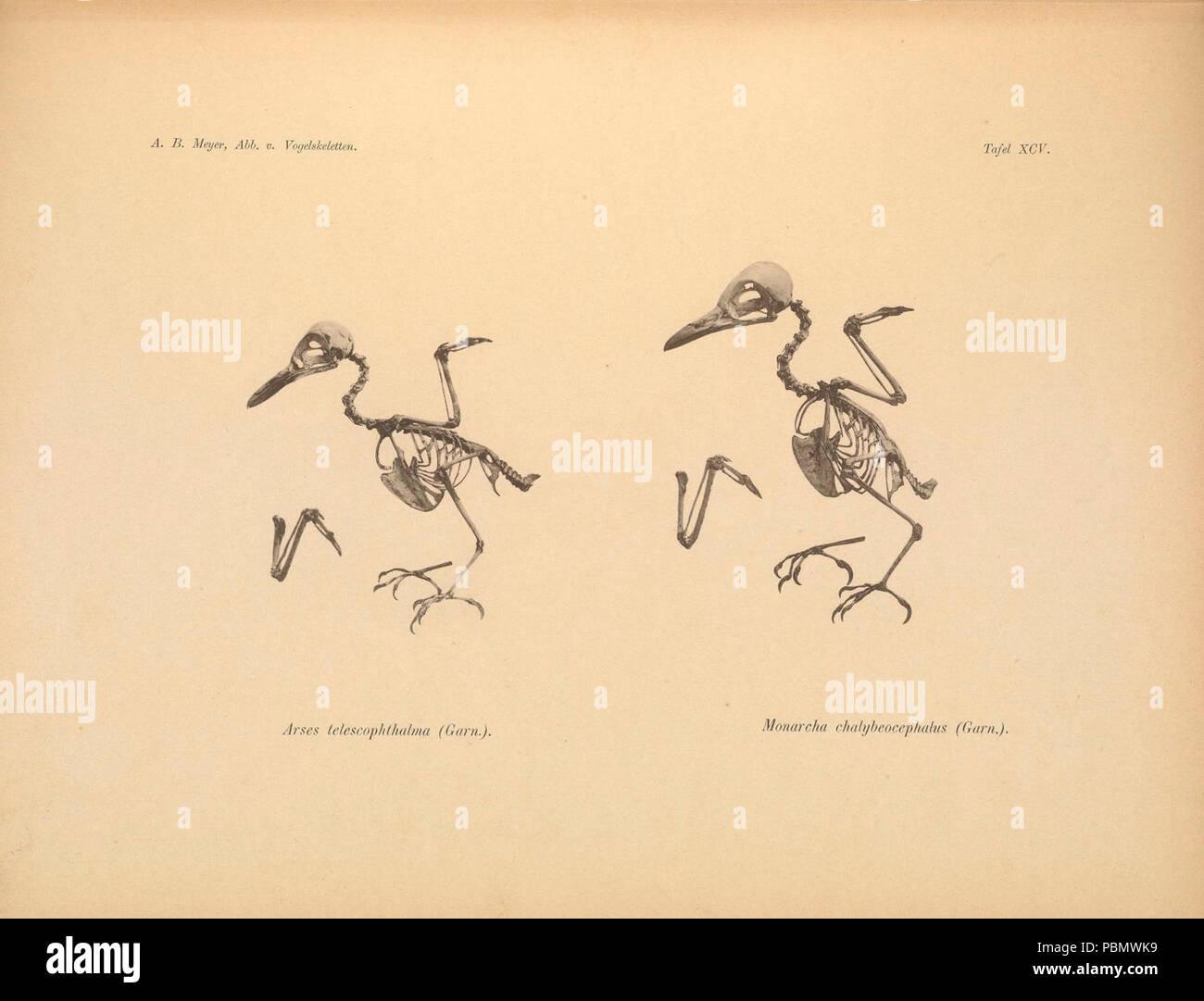 Abbildungen von Vogel-Skeletten (Tafel XCV) - Stock Image