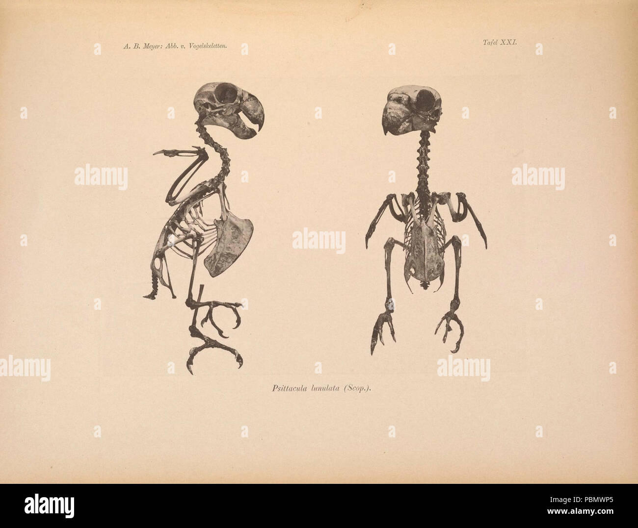 Abbildungen von Vogel-Skeletten (Tafel XXI) - Stock Image