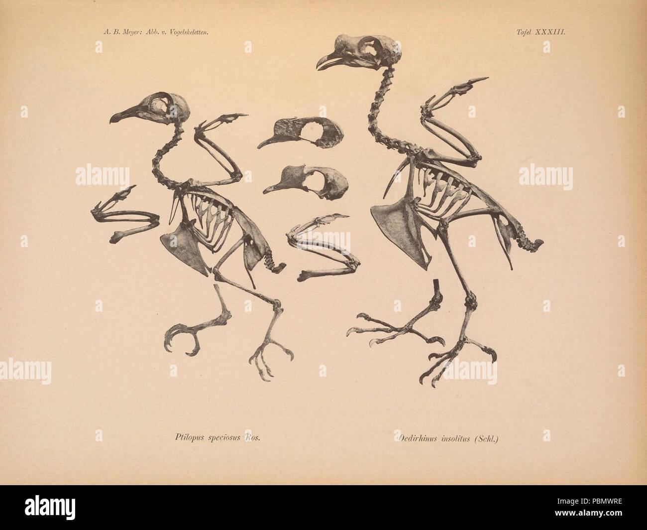 Abbildungen von Vogel-Skeletten (Tafel XXXIII) - Stock Image