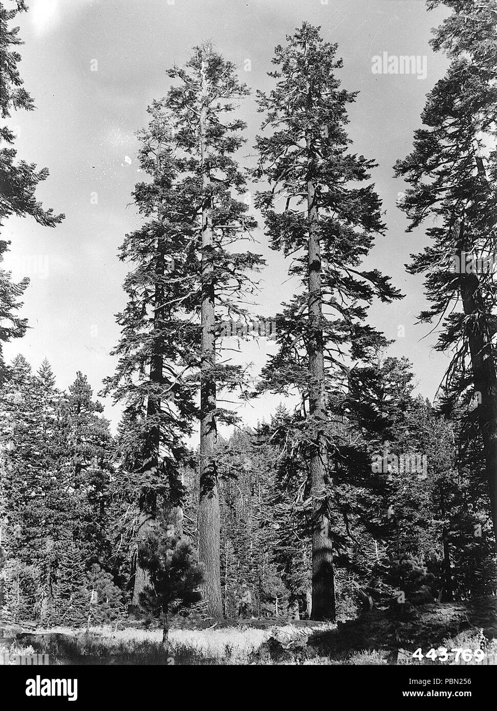 Abies magnifica near Mammoth Lakes. - Stock Image