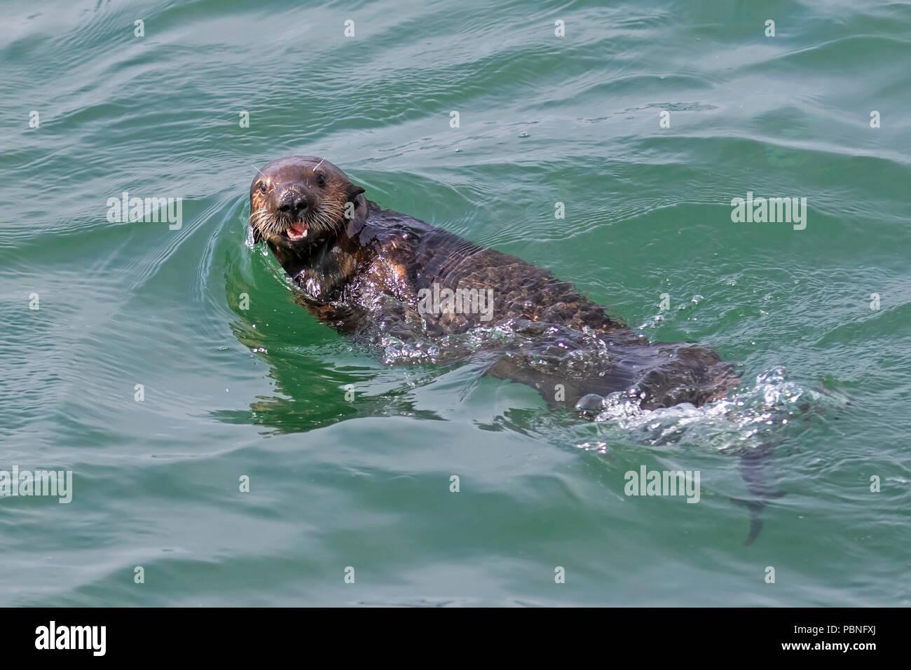 Sea otter at Moss Landing State Beach - Stock Image