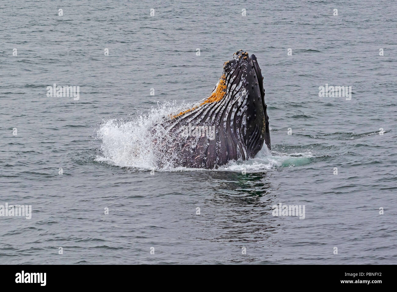 Humpback whale feeding in Monterey Bay - Stock Image