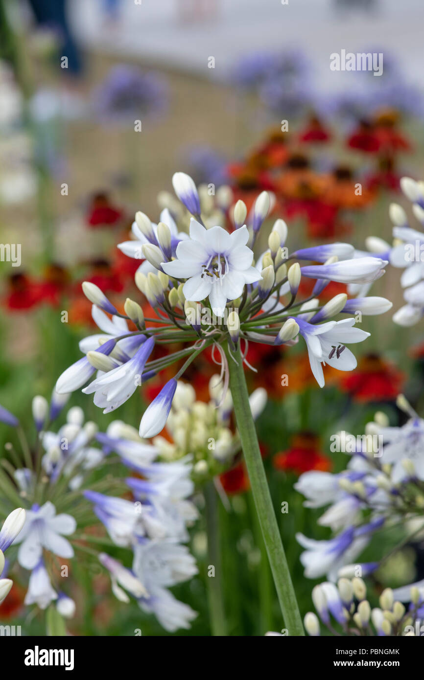 Agapanthus  africanus 'Twister'.  African Blue lily flowers at RHS Tatton park flower show 2018, Cheshire. UK Stock Photo