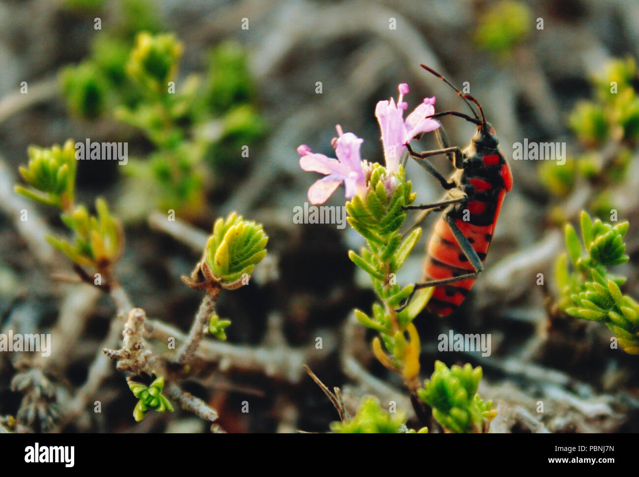 Firebug climbing the stalk of a rose coloured flower in the countryside - Stock Image